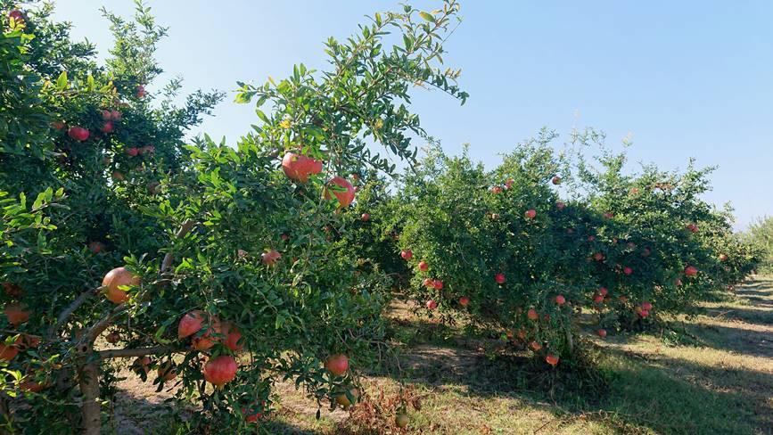 Гранатовые сады Турция